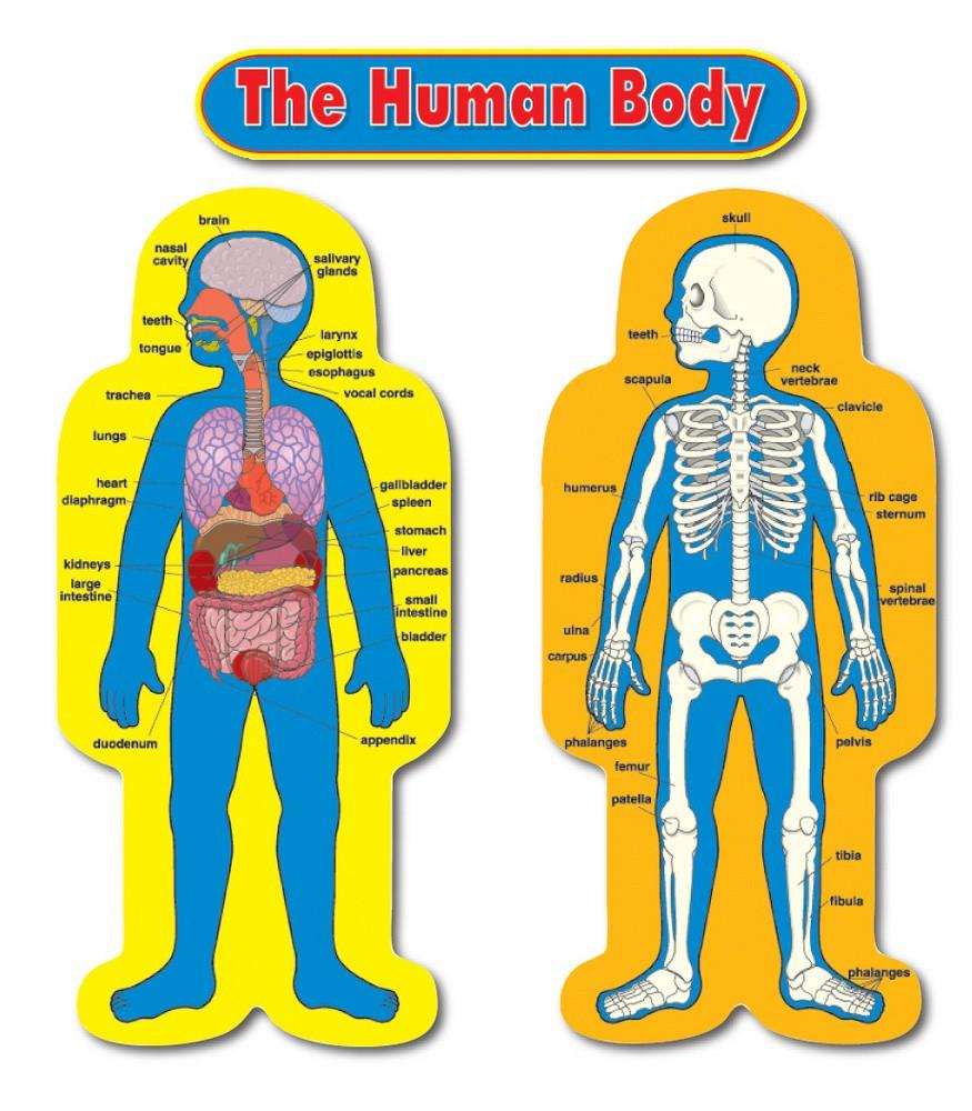 a brighter child child size human body bulletin board set child size human body bulletin board set