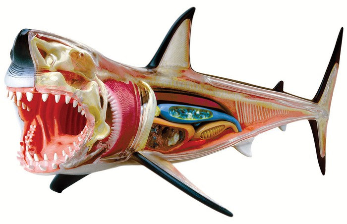 Cool Shark Toys : A brighter child d vision great white shark anatomy model