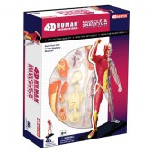 4D Human Anatomy Muscle and Skeleton Model