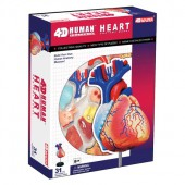 4D Anatomy Heart Model